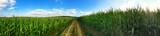 Weg durch die Maisfelder - 87211122