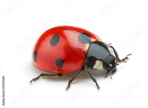 Ladybug isolate on white background
