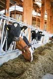 Milchkühe blicken im modernen Kuhstall durch das Fressgitter
