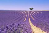 Fototapety Plateau Valensole, Provence: lavender field