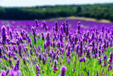 Fototapety Beautiful violet fields of lavender in Provence