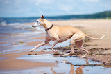 red whippet dog running on the beach