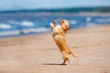 funny red chihuahua dog dancing on the beach