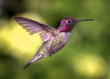 Hummingbird in Flight, Color Image, Day