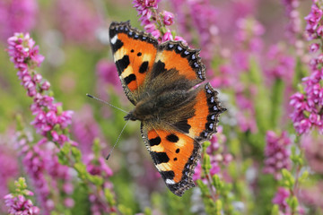 Calluna vulgaris known as Common Heather, ling, or simply heather with butterfly Small Tortoiseshell
