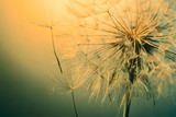 close up of beautiful dandelion