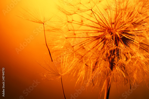 close up of beautiful dandelion - 87441710