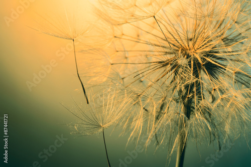 close up of beautiful dandelion