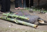Pork  tied to bamboo canes before being sacrificed in a funeral ceremony in Tana Toraja, Indonesia poster