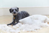 Badly Behaved Dog Ripping Up Cushion At Home poster