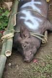 Portrait of a pork tied with bamboo canes, waiting to be sacrificed in Indonesia poster