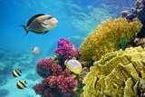 Fototapety Underwater scene with coral reef and fish photographed in shallow water, Red Sea, Marsa Alam, Egypt