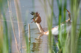 waterbird (Podiceps cristatus) in distress because of a fisherman poster