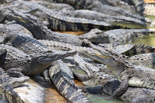 Foto op Plexiglas Krokodil Closeup chapters of the crocodiles.