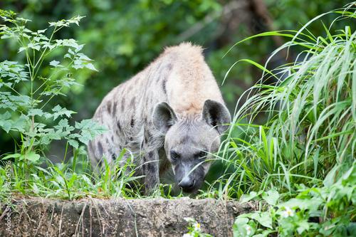 Deurstickers Luipaard hyena
