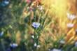 Beautiful blue meadow flowers