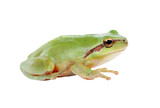 Green frog with bulging eyes golden