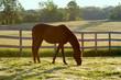 Obrazy na płótnie, fototapety, zdjęcia, fotoobrazy drukowane : Horse Grazing in Pasture in the Morning – An Arabian horse grazes in his pasture in the morning sunlight.