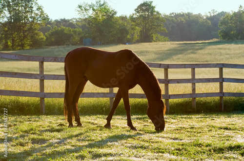Zdjęcia na płótnie, fototapety, obrazy : Horse Grazing in Pasture in the Morning – An Arabian horse grazes in his pasture in the morning sunlight.