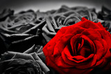 Romantic greeting card of red rose against black and white roses - 87682319