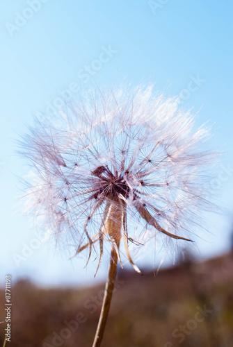 Closeup of dandelion - natural background - 87711198