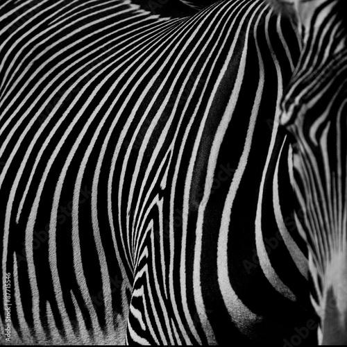 Obraz na Szkle :: zebra III ::