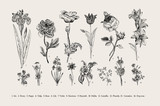 Fototapety Botany. Set. Vintage flowers. Black and white illustration in the style of engravings.
