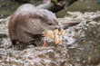 Постер, плакат: otter eating a chick in the river