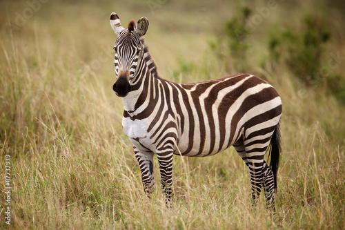 Zebra standing in long grass