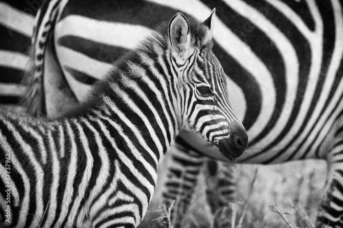 Zdjęcia na płótnie, fototapety na wymiar, obrazy na ścianę : Very young zebra in mono