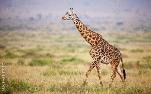 Fototapety, obrazy : Giraffe walking in Kenya