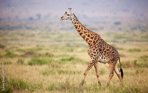 Zdjęcia na płótnie, fototapety na wymiar, obrazy na ścianę : Giraffe walking in Kenya