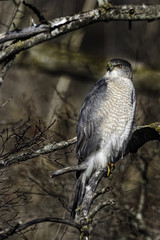 Vertical of a hunting Coopers Hawk perched in a tree