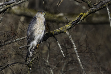 Hunting Coopers Hawk perched in a tree