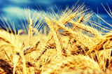 Golden wheat field at summer day