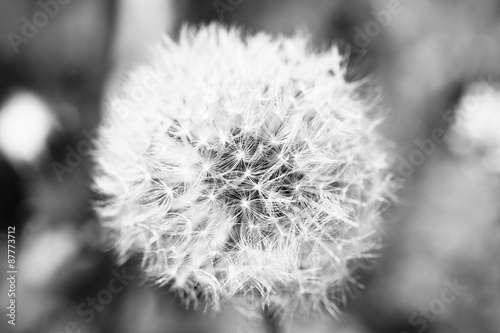 Beautiful dandelion with seeds, close-up - 87773712