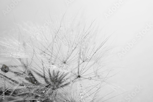 Beautiful dandelion with seeds, macro view - 87776317