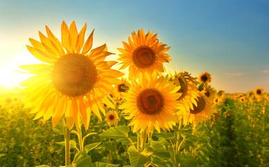 Fototapeta zachód słońca i słonecznik