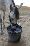 Primer plano de caballo bebiendo. Caballo bebiendo en verano. Caballo bebiendo de un esportón en el campo. poster