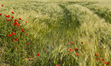 Field with wheat and blossoming poppies on foreground. Image may be useful for popularization of ecotourism and clean environment poster