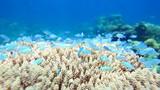 School of fish Chromis viridis on the Acropora coral closeup. poster