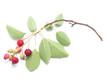 saskatoon berries on a white background