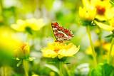 Fototapety Schöner Schmetterling (Araschnia levana) auf gelber Blume