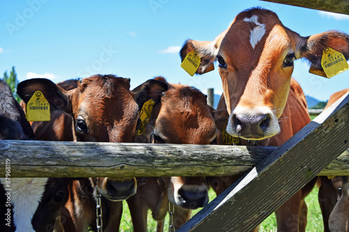 佐賀県 どんぐり村のジャージー牛