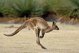 Känguru beim Hüpfen