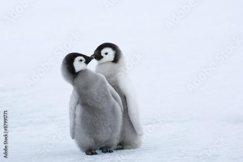 Papiers peints Antarctique Kaiserpinguinküken