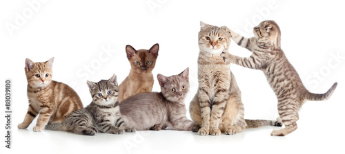 Fototapeta various cats group isolated