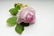 Постер, плакат: Дикая розовая роза