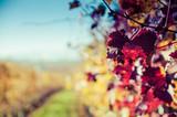 Fototapety Vigne delle colline delle Langhe in autunno