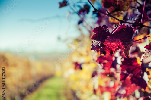 Keuken foto achterwand Wijngaard Vigne delle colline delle Langhe in autunno